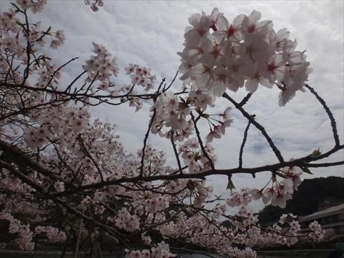 S_20150404_ujigawasup_miyake_21